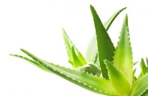 aloe vera 300x195 Quels sont les bienfaits de l'Aloe Vera sur vos 3 Corps ?