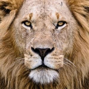 regard lion 300x300 Mon coup de Gueule sur le fait de Gagner de lArgent sur Internet [Corps Energétique]